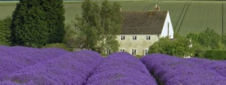 The best lavender fields in the UK